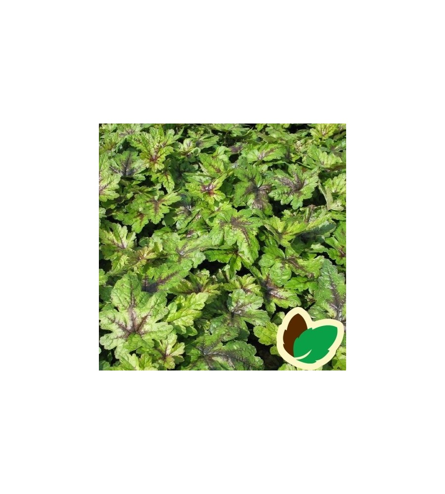 Tiarella cordifolia Tiger Stripe - Skumblomst