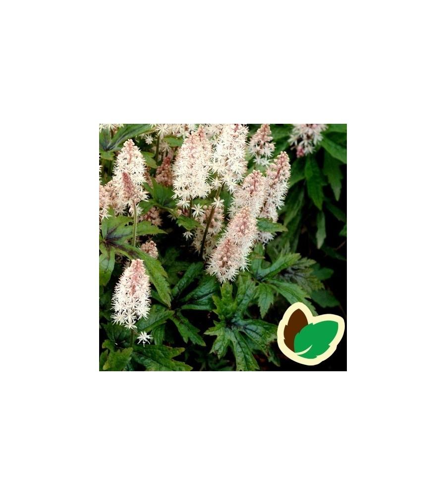 Tiarella hybrid Pink Skyrocket - Skumblomst