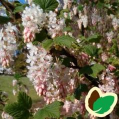 Ribes sanguineum White Icicle - Hvid Blodribs