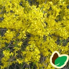 Forsythia intermedia Mini Gold (Flojor) - Forsythia / Vårguld