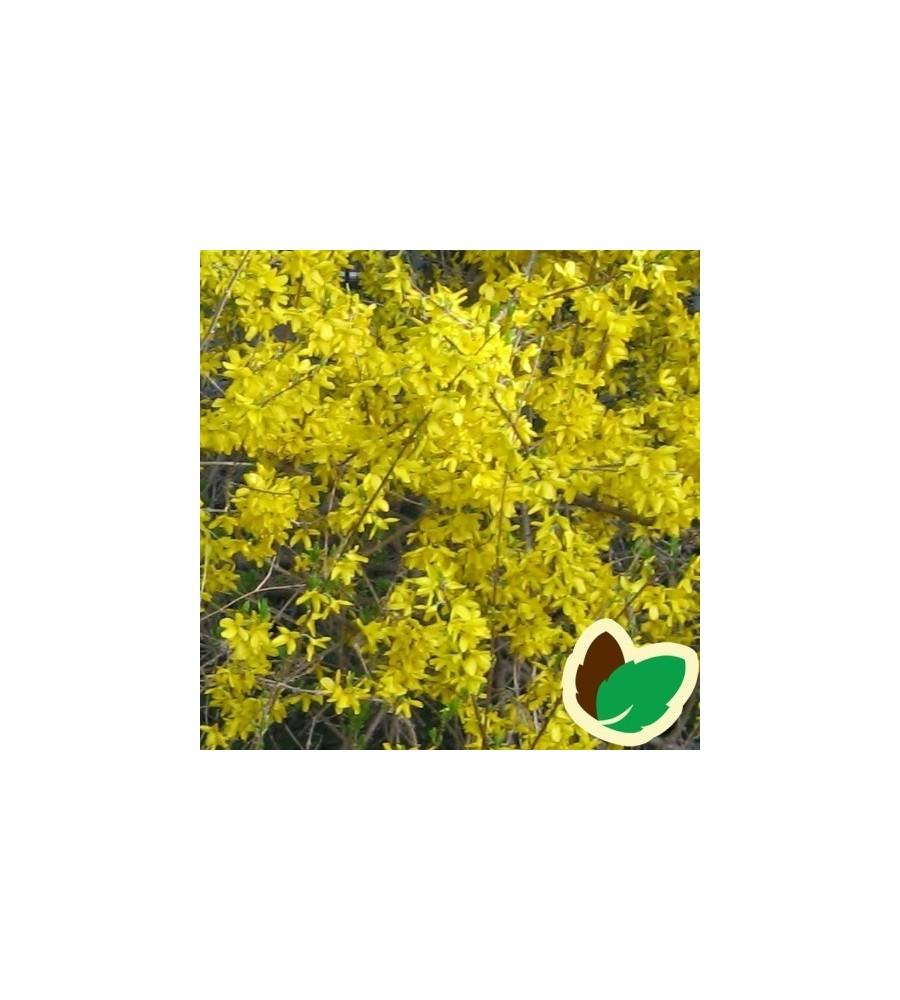 Forsythia intermedia Mini Gold (Flojor) - Forsythia / Vårguld