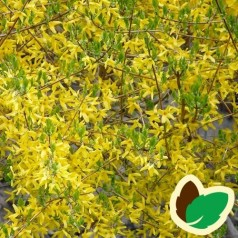 Forsythia intermedia Maluch - Forsythia / Vårguld