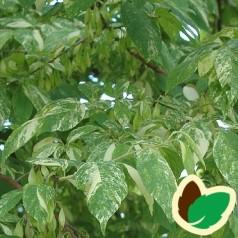 Halesia monticola Variegata - Broget Sneklokketræ