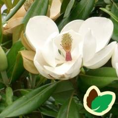 Magnolia grandiflora - Storblomstret magnolie