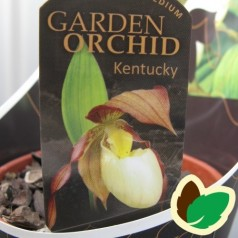 Cypripedium Kentucky - Fruesko / Haveorkide