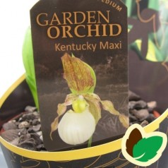 Cypripedium Kentucky Maxi - Fruesko / Haveorkide