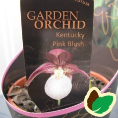 Cypripedium Kentucky Pink Blush - Fruesko / Haveorkide