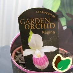 Cypripedium Regina - Fruesko / Haveorkide