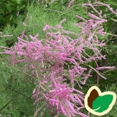 Tamarix ramosissima Rubra - Tamarisk