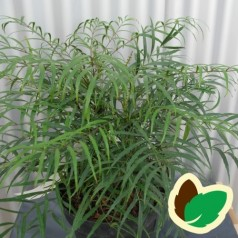 Mahonia eurybracteata Soft Caress - Tyndbladet Mahonie