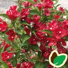 Weigela florida All Summer Red - Klokkebusk