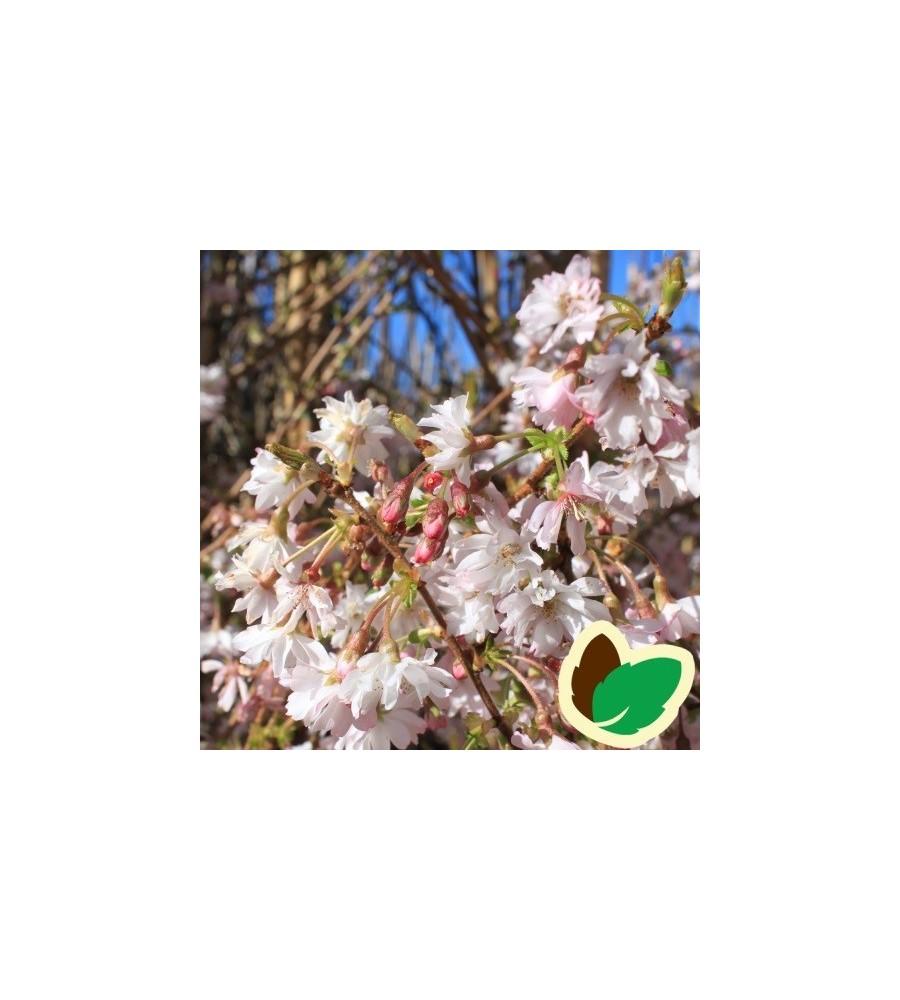 Prunus subhirtella Autumnalis - Oktoberkirsebær / 175-200 cm.