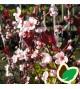 Prunus cistena - Dværgblodblomme