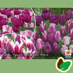 Tulipanløg - Blanding Purple Sensation Blend - 50 Løg