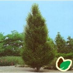 Carpinus betulus Fastigiata - Pyramide Avnbøg / Træ 250-300 cm.