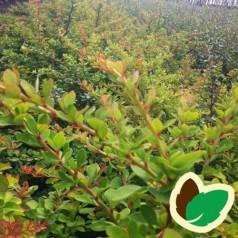 Berberis thunbergii - Berberis / 10 stk. 50-80 cm. barrods.