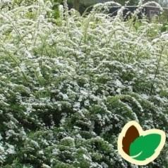 Snedrivebusk 50-80 cm. - Bundt med 10 stk. barrodsplanter - Spiraea cinerea Grefsheim