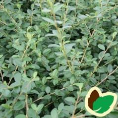 Cotoneaster dammeri Skogholm - Dværgmispel / 10 stk. 30-50 cm. barrods - S