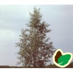 Salix alba Saba - Hvidpil / 10 stk. 60-100 cm. barrods - S