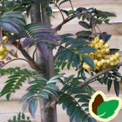 Sorbus aucuparia Joseph Rock - Røn / 175-200 cm.