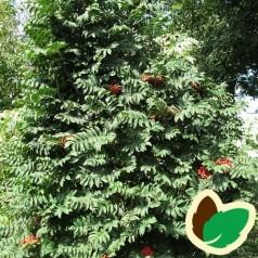 Sorbus aucuparia Fastigiata - Søjle Røn / 150-175 cm.