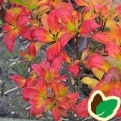 Rhododendron knaphill Pontica - Haveazalea