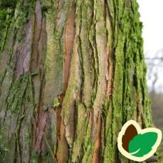 Metasequoia Glyptostroboides - Vandgran / 200-250 cm.