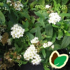 Spiraea japonica Albiflora - Spiræa