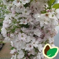 Prunus serrulata Amanogawa - Japansk Søjlekirsebær / 150-175 cm.