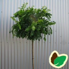 Robinia pseudoacacia Umbraculifera - Kugleakacie / 150 cm. stamme med krone.
