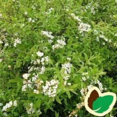 Spiraea cinerea - Hvid Dværgspiræa