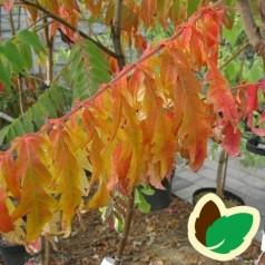 Rhus typhina Dissecta / Hjortetakstræ