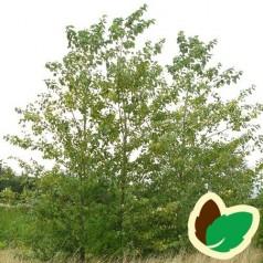 Vestamerikansk Balsampoppel 60-100 cm. - Bundt med 10 stk. barrodsplanter - Populus trichocarpa Op42 _