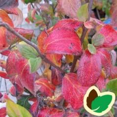 Viburnum burkwoodii Mohawk - Snebollebusk