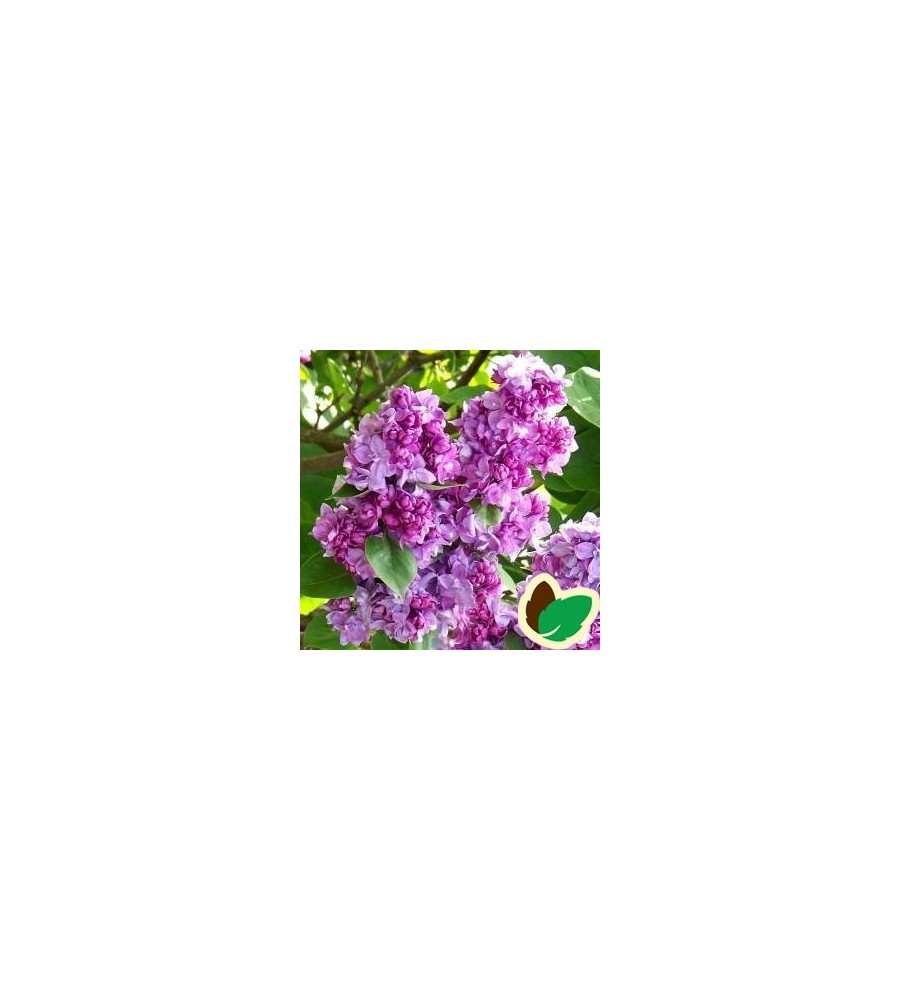 Syringa vulgaris Katherine Havemeyer - Storblomstret Syren