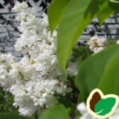 Syringa vulgaris Mme Lemoine - Storblomstret Syren