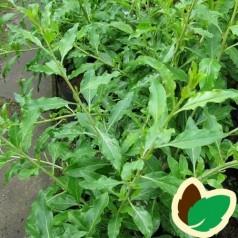 Gojibær - Bukketorn Sweet Lifeberry