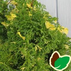 Chamaecyparis obtusa Saffron Spray - Gul-plettet Solcypres
