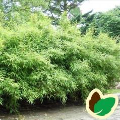Bambus Bimbo - Fargesia murielae Bimbo