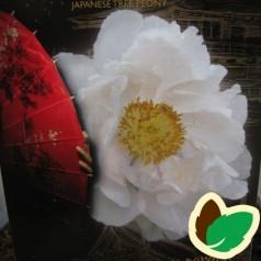 Træpæon Hvid - Paeonia suffruticosa White