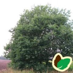 Vintereg 50-80 cm. - Bundt med 10 stk. barrodsplanter - Quercus petrea _