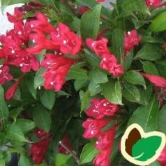 Weigela florida Red Prince - Klokkebusk