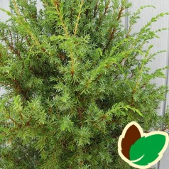 Juniperus communis Hibernica - Søjle Ene / 60-80 cm.