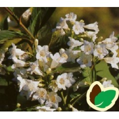 Weigela hybrid White Knight - Klokkebusk