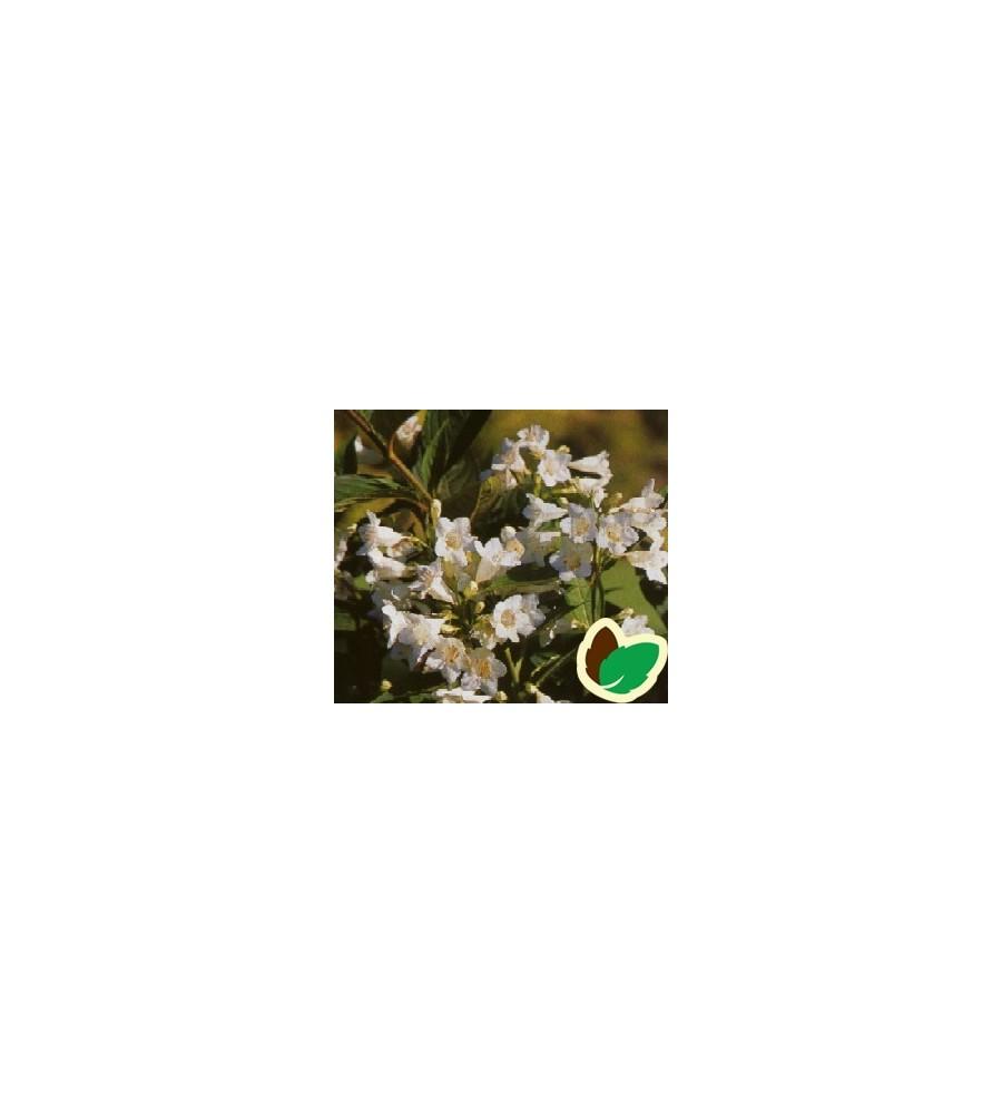Weigela hybrid White Knight - Klokkebusk