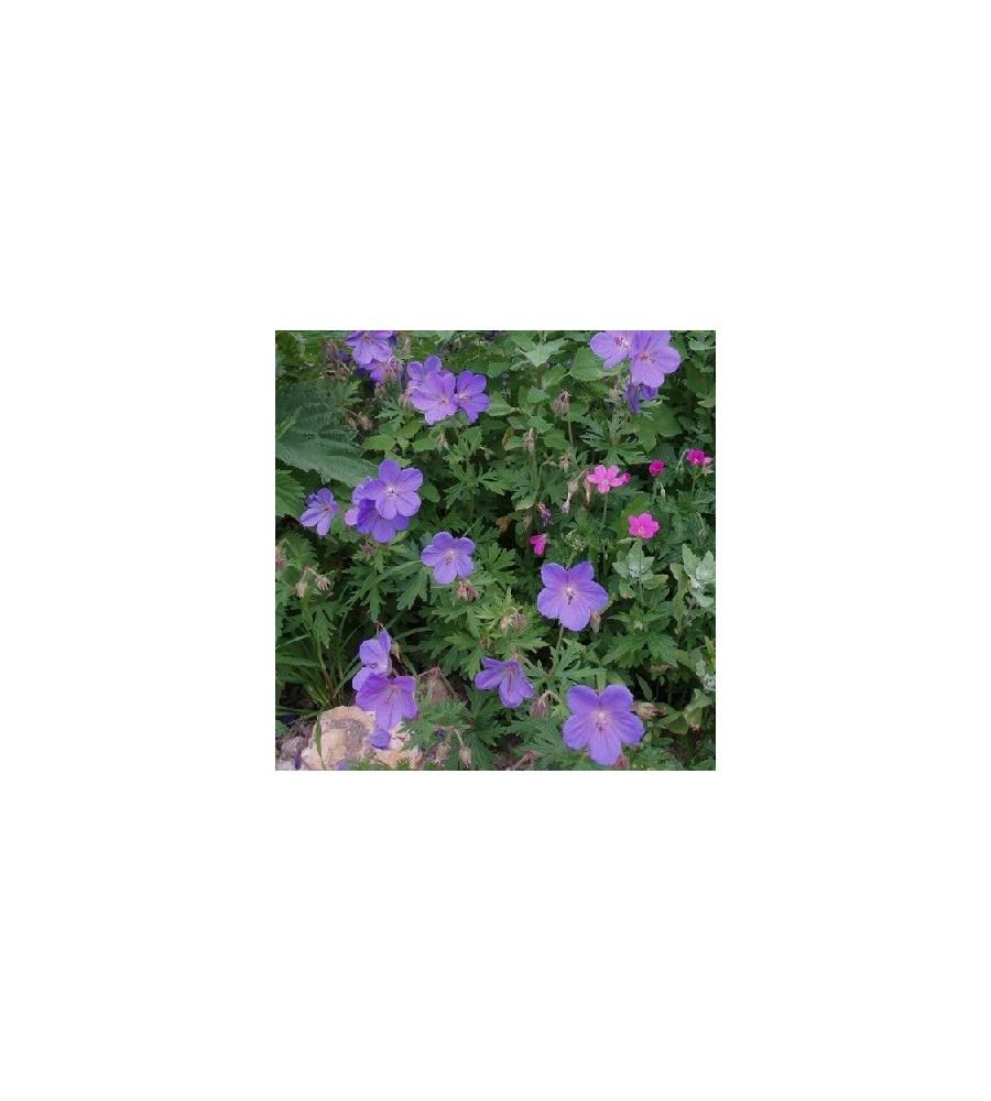 Geranium himalayense Gravetye / Storkenæb