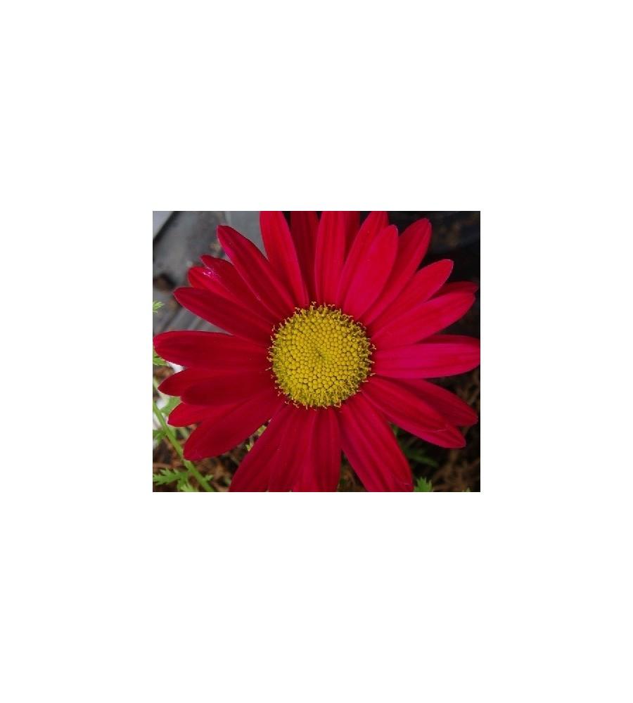 Tanacetum coccineum Duro / Rosenkrave