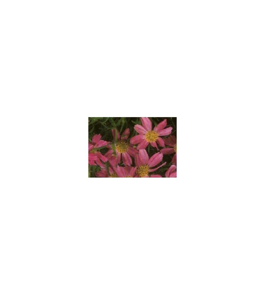 Coreopsis rosea American Dream / Skønhedsøje