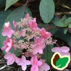 Hydrangea aspera Hot Chocolate - Fløjls Hortensia