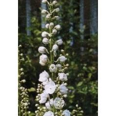Delphinium pacific Magic Fountain Hvid / Ridderspore